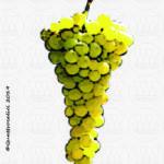 arneis vitigno