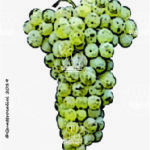 bianco d'alessano vitigno