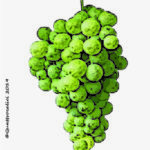 biancolella vitigno