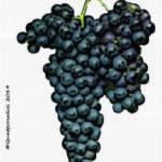 bonarda vitigno