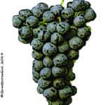 cabernet franc vitigno