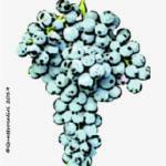 cagnulari vitigno