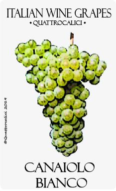 canaiolo bianco vitigno