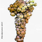 catarratto bianco comune vitigno