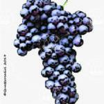 corinto nero vitigno