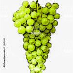 damaschino vitigno