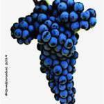dolcetto vitigno