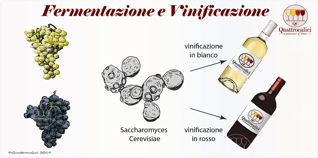 fermentazione e vinificazione