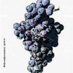gaglioppo vitigno