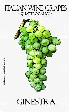 ginestra vitigno
