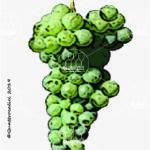guarnaccia vitigno