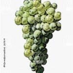 invernenga vitigno