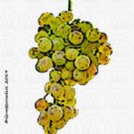 inzolia vitigno