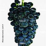 lambrusco oliva vitigno