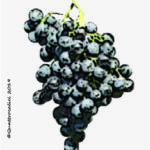 malbo gentile vitigno