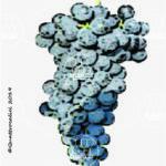 marsigliana nera vitigno