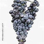 monica vitigno