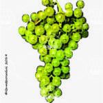 moscato giallo vitigno