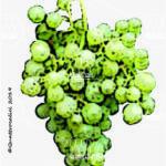 mostosa vitigno