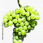 nascetta vitigno