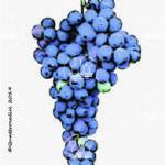 olivella nera vitigno