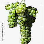 pecorino vitigno