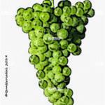 pedevenda vitigno