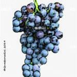 vitigno pelaverga piccolo