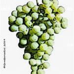 petit manseng vitigno