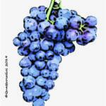 petit rouge vitigno