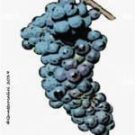 pignola vitigno