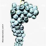 quagliano vitigno