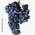 raboso veronese vitigno