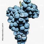 rebo vitigno