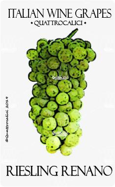 riesling renano vitigno