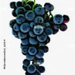 rotberger vitigno