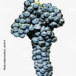 ruchè vitigno