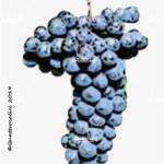 sangiovese vitigno