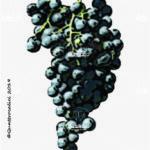 sennen vitigno