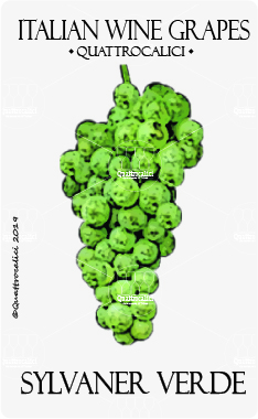 sylvaner verde vitigno