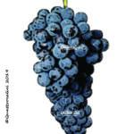 syrah vitigno