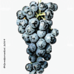 tazzelenghe vitigno