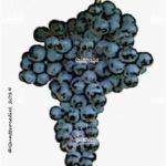 tempranillo vitigno