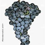 tintilia vitigno