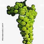 tocai friulano vitigno