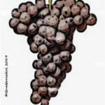 traminer aromatico vitigno