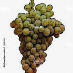 verduzzo friulano vitigno