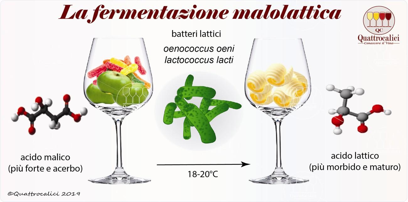 la fermentazione malolattica del vino