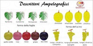 ampelografia-descrittori