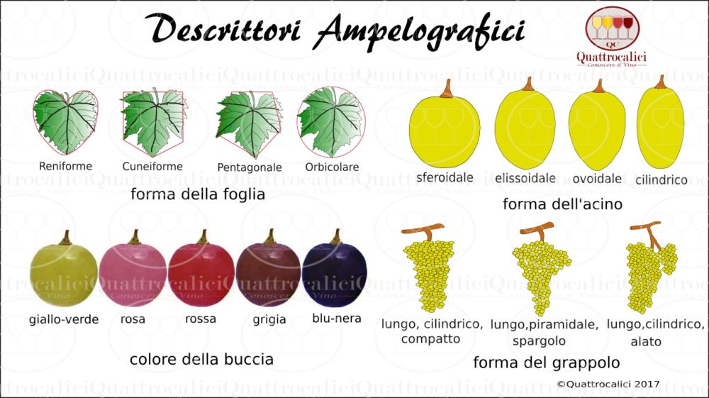 ampelografia-descrittori
